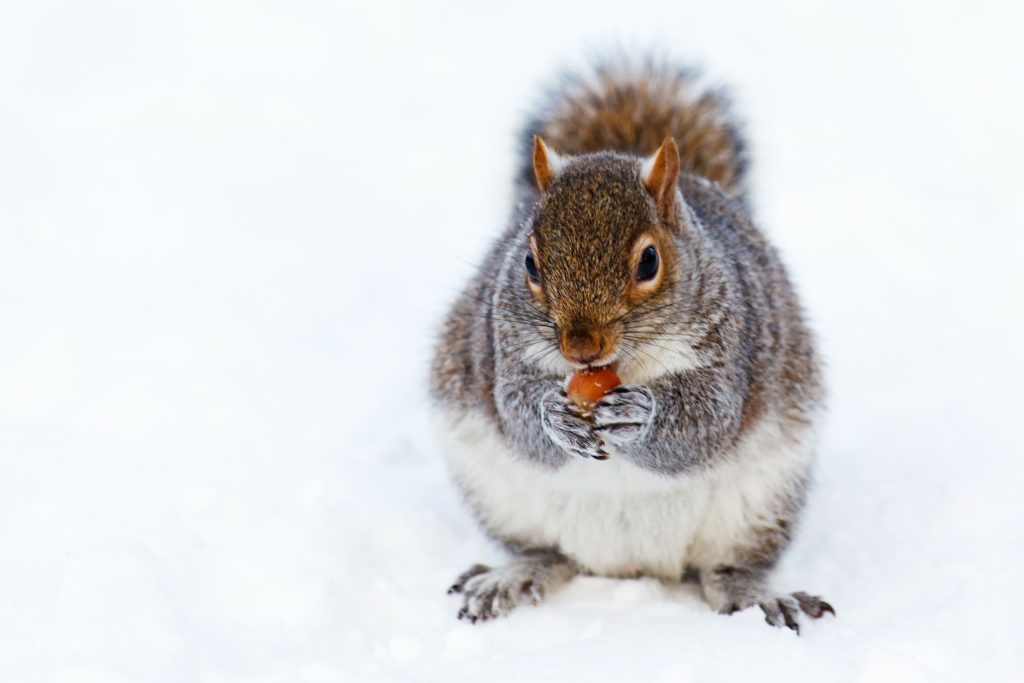 Écureuil qui mange des noix